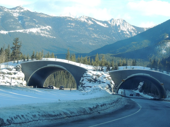 Animal crossings over the Trans Canada...